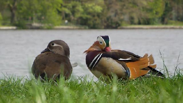 Mandarinenten im Treptower Park